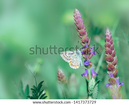 Dreamlike picture of butterfly on the flower. Long spikes of purplish blue flowers of Meadow Clary. Good honey plant and common blue butterfly on a blured fairytale wild meadow background at morning.