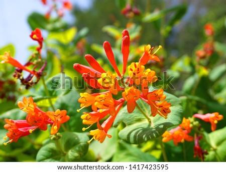 Close up Honeysuckle with two-lipped, tubular scarlet-orange flowers. Lonicera sempervirens  flowers, common names coral honeysuckle, trumpet honeysuckle, or scarlet honeysuckle, in bloom. #1417423595