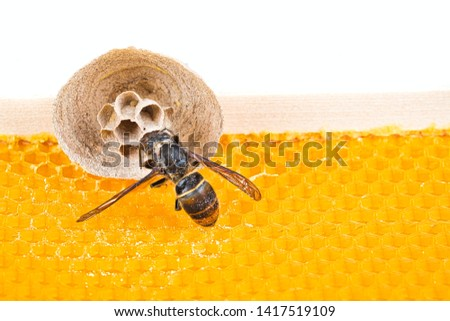 Macro picture of Asian hornets begin of nest on a new yellow frame of beehive, with one hornet making the nest. They are responsible of death of bees colony. Disaster for nature wild life in France