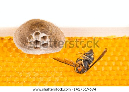 Macro picture of Asian hornets begin of nest on a new yellow frame of beehive, with one dead hornet close to the nest. They are responsible of death of bees colony. Disaster for nature wild life