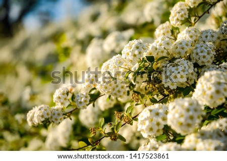 White flowers on a green branch. #1417523861