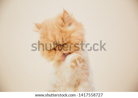 Beautiful persian cat posing for the camera. Licking it's nose and fur and makes funny faces. #1417558727
