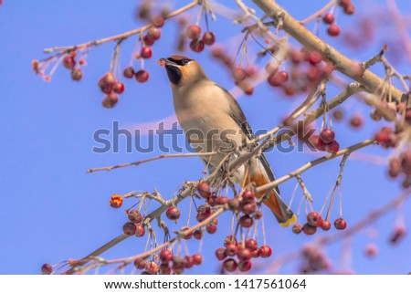 Bombycilla garrulus bird eats berries on a tree. #1417561064