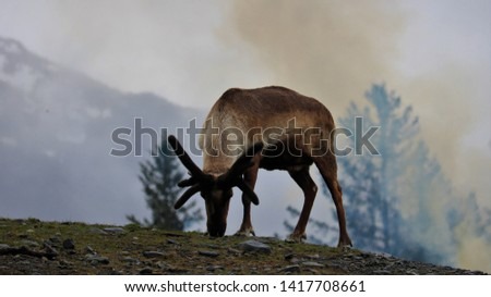 A reindeer feeds on a hillside in front of a fire #1417708661