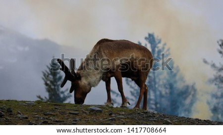 A reindeer feeds on a hillside in front of a fire #1417708664