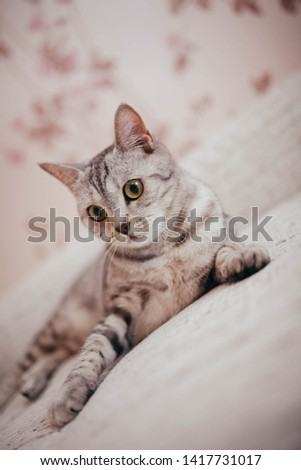 cute cat lying on the couch and looking at the camera #1417731017