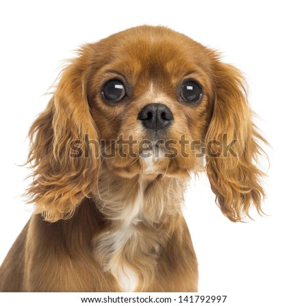 Close-up of a Cavalier King Charles Spaniel puppy, 5 months old, isolated on white #141792997