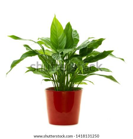 Green plant ( Peace lily - Spathiphyllum Lanceifolium ) isolated on white background. #1418131250