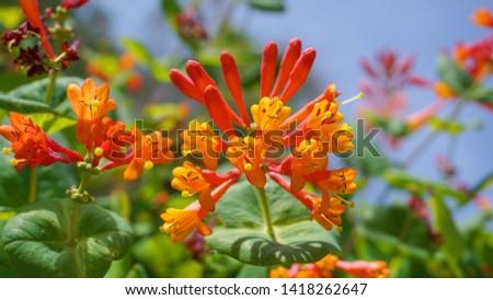 Close up Honeysuckle with two-lipped, tubular scarlet-orange flowers. Lonicera sempervirens  flowers, common names coral honeysuckle, trumpet honeysuckle, or scarlet honeysuckle, in bloom. #1418262647