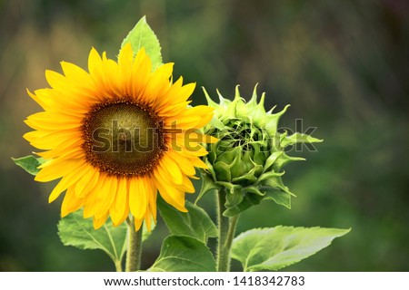 Sunflower with Green Bud Sunflower Blossom - Healthy Lifestyles, Ecology, Organic Farming, Smallholding, Gardening, health concept, nature concept #1418342783