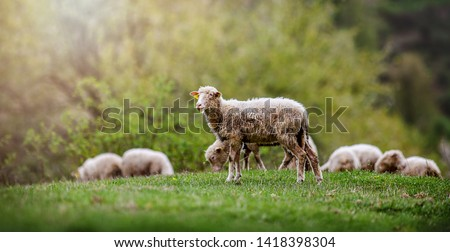 Sheeps group and lambs on a meadow with green grass. Flock of sheep in sun rays spring background. #1418398304