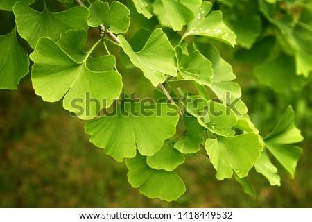Ginkgo biloba green leaves on a tree. Ginkgo Biloba Tree Leaves with Water Drops #1418449532