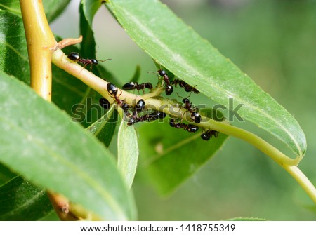Four dots ants Dolichoderus quadripunctatus take care of the lices