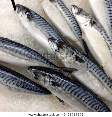Macro Photo food fresh mackerel fish. Texture background sea fish mackerel. Image of food mackerel fish lying on ice. #1418795171