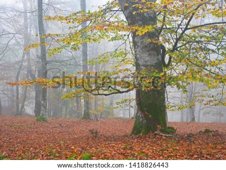 beech forest foggy in autumn #1418826443