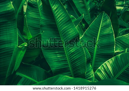 tropical banana leaf texture in garden, abstract green leaf, large palm foliage nature dark green background #1418915276