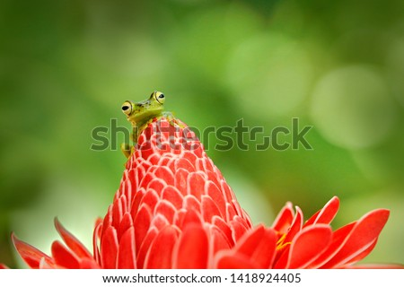 Frog from Costa Rica, tropic forest. Beautiful animal in jungle, exotic animal from South America. Hypsiboas rufitelus, Red-webbed Tree Frog, tinny amphibian with red flower.  in nature habitat.  #1418924405