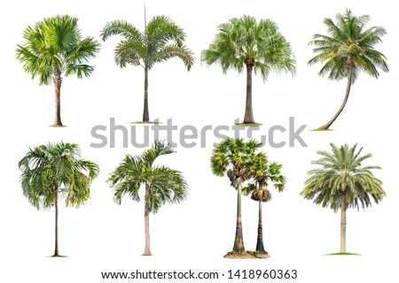 Coconut and palm trees Isolated tree on white background , The collection of trees.Large trees are growing in summer, making the trunk big. #1418960363
