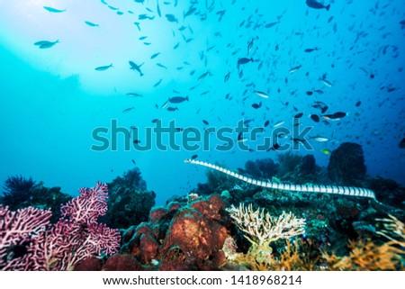 Beautiful sea snake swims in corals. Wakatobi national park near Sulawesi. Indonesia.  #1418968214