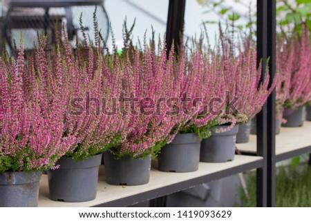 Blooming Heather Calluna in pots, flower shop. Heather vulgaris Calluna vulgaris bloom of small red pink flowers. Decorative garden flowering plant #1419093629