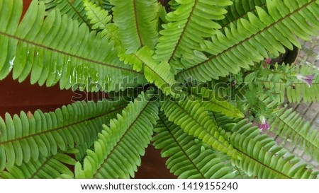 Garden ornamental fern- Nephrolepis cordifolia. Family - Nephrolepidaceae. Common name- fishbone fern,tuberous sword fern,tuber ladder fern, erect sword fern, narrow sword fern and ladder fern. #1419155240