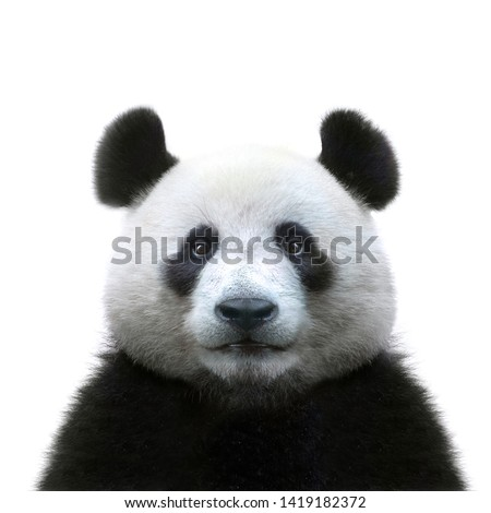 panda bear face isolated on white background