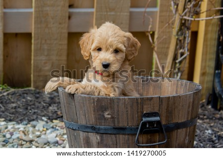Mini Goldendoodle puppy showing cuteness. The F1b Mini Goldendoodle is produced by crossing a F1 Goldendoodle which is half golden retriever and half standard poodle with a mini poodle.