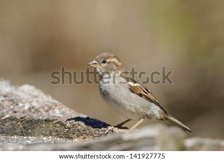 House Sparrow - Passer domesticus Female on log #141927775