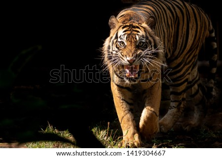 Sumatran tiger gives intimidate looks #1419304667