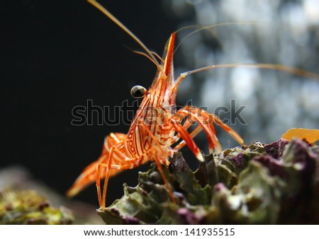 Hingebeak Shrimp #141935515