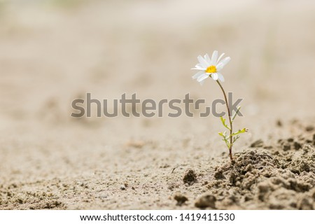 Resilient daisy plant flowering on a sandy desert with no water. #1419411530