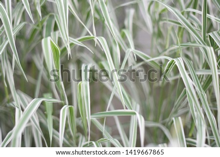 White-green long grass background. Close up. Selective focus. Falyaris variegated, canary grass  #1419667865