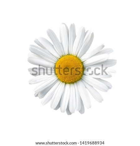 Flowering of daisies. Oxeye daisy, Leucanthemum vulgare, daisies, Common daisy, Dog daisy, Moon daisy.  #1419688934