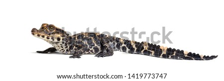 Dwarf crocodile, Osteolaemus tetraspis also know as African dwarf crocodile, broad-snouted crocodile, or bony crocodile looking at camera against white background #1419773747