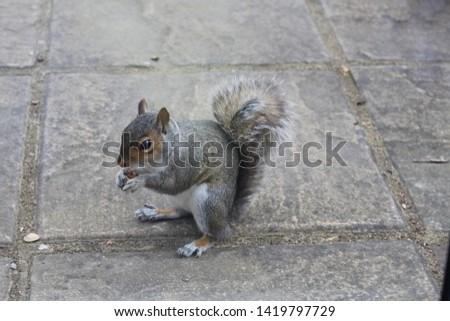 British Wildlife - Urban Grey Squirrel Eating Nut 1 #1419797729