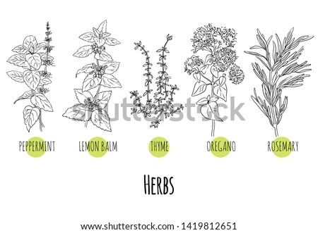 Vector set of green herbs and plants sketches: peppermint, lemon balm, thyme, oregano and rosemary. Healthy food, bio, organic, natural product, spices, herbal tea #1419812651