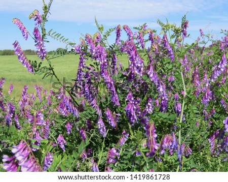 Winter vetch or hairy vetch (vicia villosa) growing on a hill, green field in far background, lots of purple flowers closeup  #1419861728