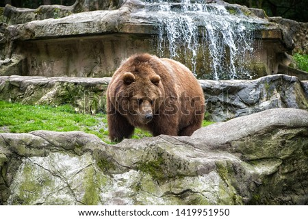 Animal rights. Friendly brown bear walking in zoo. Cute big bear stony landscape nature background. Zoo concept. Animal wild life. Adult brown bear in natural environment. Royalty-Free Stock Photo #1419951950