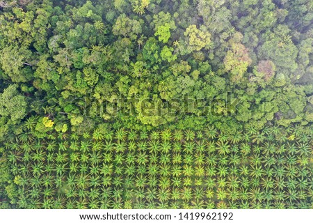 Palm oil plantation at rainforest edge. Deforestation in Malaysia destroys rain forest for oil palms  #1419962192