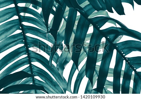 tropical leaf, stripe of exotic foliage in rain forest, monstera plant isolated on white, nature background, clipping path included, blue toned process. #1420109930