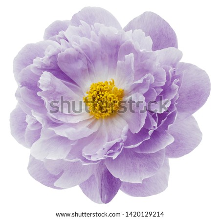 purple peony flower isolated on a white  background with clipping path  no shadows. Closeup.  Nature. #1420129214