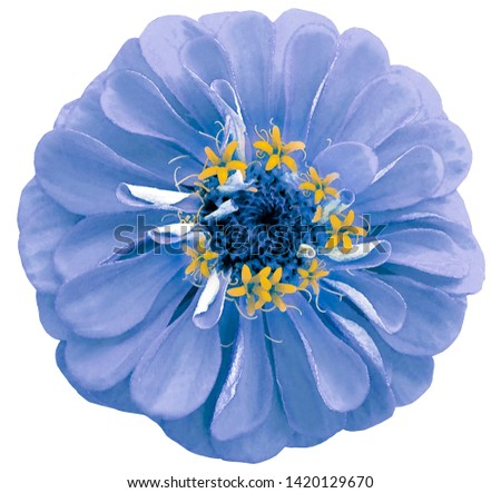 Watercolor  light blue flower zinnia.  on a white isolated background with clipping path. Nature. Closeup no shadows. Garden flower.  #1420129670