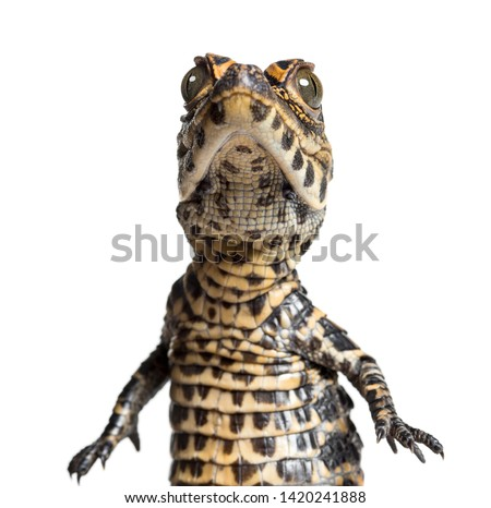 Dwarf crocodile, Osteolaemus tetraspis also know as African dwarf crocodile, broad-snouted crocodile, or bony crocodile looking at camera against white background #1420241888