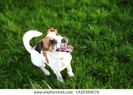 Purebred Jack Russell Terrier dog outdoors on nature in the grass on a summer day. Happy dog sits in the park. Jack Russell Terrier dog smiling on the grass background. Parson Russell Terrier #1420384076