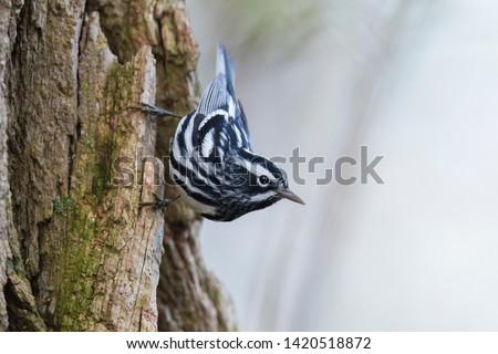 Male black-and-white warbler (Mniotilta varia)  #1420518872