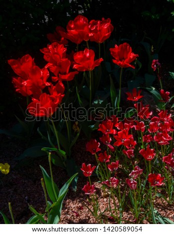 Awesome pic of red tulips against a dark background. This effect is created by a sun beam shining on these tulips while others are masked  by the shadows. The little ones in front add a great charm