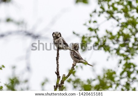 close up of hawk owls protecting their nest. The picture is taken in north norway in the spring