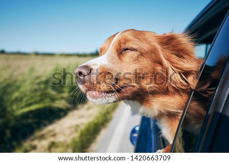 Dog travel by car. Nova Scotia Duck Tolling Retriever enjoying road trip. #1420663709