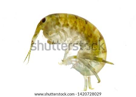 Talitrus Saltator.  Water flea sea.