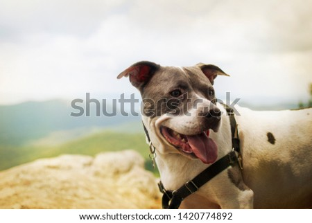 A picture of an American Bull terrier or pitbull dog with green and blue mountains in the background panting wearing a harness and leash on a sunny summer day.